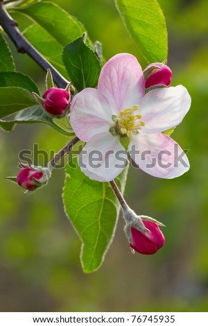 Beautiful apple flower with drop - stock photo