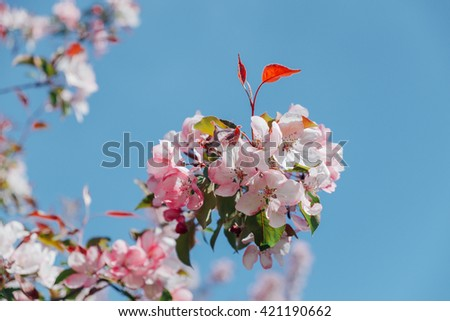 Beautiful apple tree branch blooming with pink flowers at blue sky view. Spring background with flowers. Pink apple flower blossom on vivid blue sky background. Spring blossom. Apple blossom at spring - stock photo