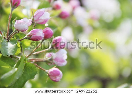 Beautiful apple tree branch with flowers close up