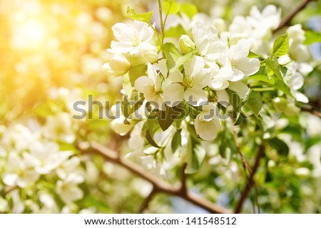 Beautiful apple tree branch with sun - stock photo