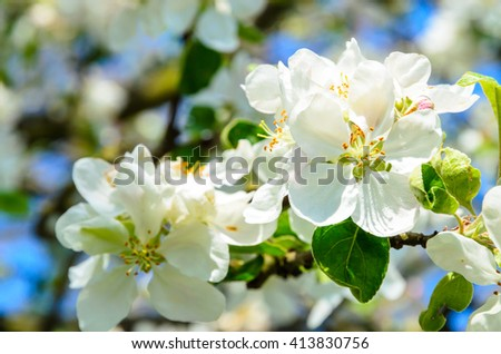 Beautiful apple tree with blooming flowers in spring day. - stock photo