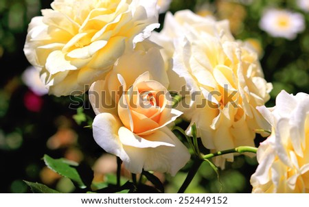 Beautiful apricot coloured roses in garden setting - stock photo