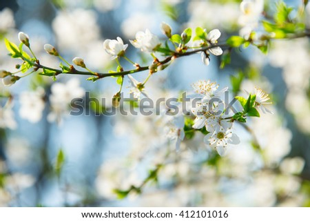Beautiful apricot tree bloom in the sunny day - stock photo