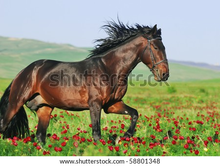 beautiful arabian horse in motion - stock photo