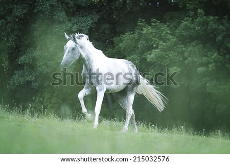 beautiful arabian horse running outdoors