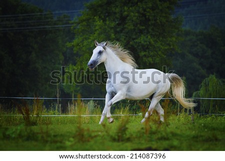 beautiful arabian lipizzaner horse running in nature - stock photo