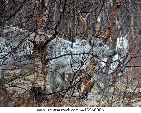 beautiful arctic raindeer in forest close up - stock photo