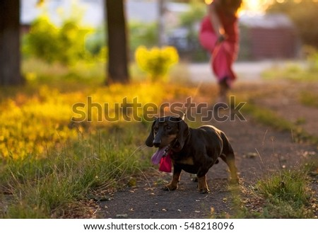 Beautiful area for lovers. Picnic for couples in love. The blue cloth on the table, white fabric on the chairs, champagne, flowers. Celebration for two. Dachshund with a pair of runs
