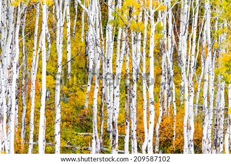 Beautiful aspen trees with golden leaves and white trunks in Colorado.
