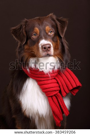 Beautiful Australian Shepherd dog in a red scarf, portrait - stock photo