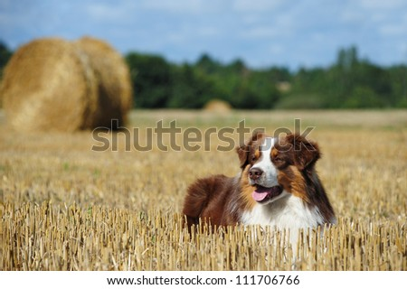 Beautiful australian shepherd dog in the countryside