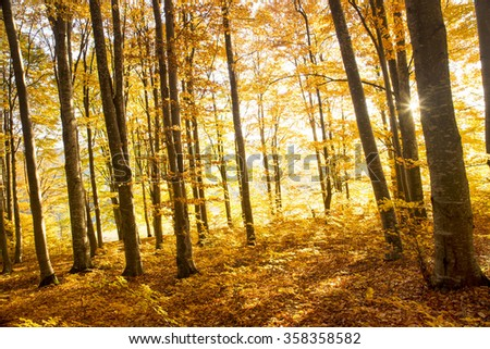 Beautiful autumn beech forest landscape in the sunlight - stock photo