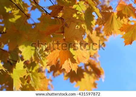 Beautiful autumn branch of maple tree on blue sky background - stock photo