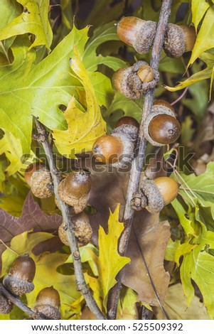 Beautiful autumn composition of acorns on branches