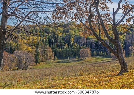 Beautiful autumn forest with fallen leaves and green firs