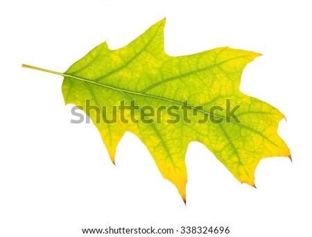 Beautiful autumn leaf, isolated on white - stock photo