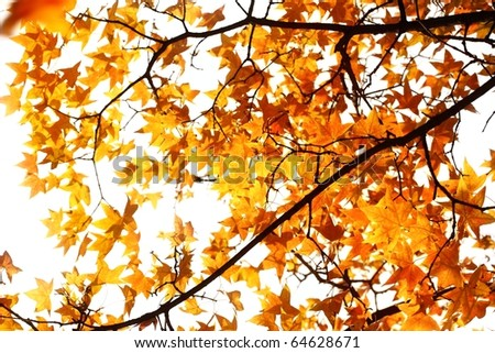 Beautiful autumn maple leaves background .