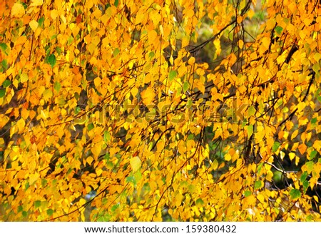 Beautiful autumn nature background - birch branches full of colorful yellow, orange and green leaves  - stock photo