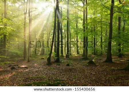 Beautiful autumn sun beams in beech forest - stock photo