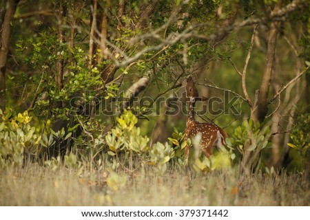 Beautiful axis deer from Sundarbans tiger reserve in India/Beautiful axis deer/Sundarbans tiger reserve in India - stock photo