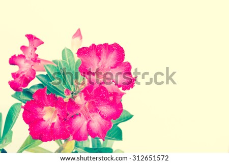 Beautiful azalea flowers on a white background.