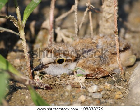 Beautiful  baby Little Ringed Plover, Charadrius dubius - stock photo