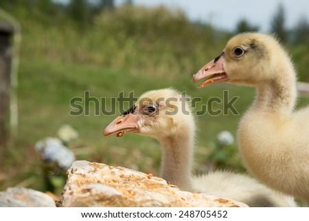 Beautiful baby swan nature. - stock photo