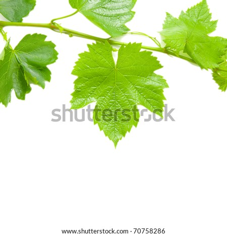 Beautiful background in the form of a young grapevine