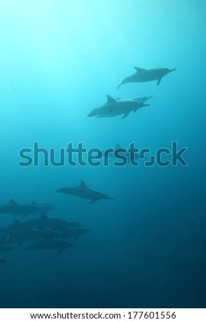 Beautiful background of dolphins underwater - stock photo