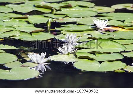 Beautiful background - white lily close up - stock photo