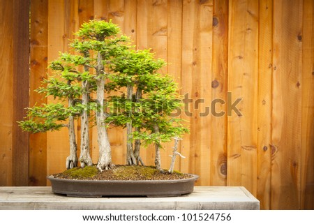 Beautiful Bald Cypress Bonsai Tree Forest Against A Wood Fence. - stock photo