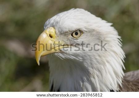 beautiful bald eagle - stock photo