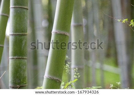 Beautiful Bamboo forest - stock photo