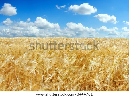 Beautiful barley field - stock photo