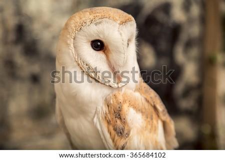 Beautiful barn owl - stock photo