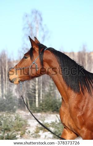 Beautiful bay horse portrait in winter - stock photo