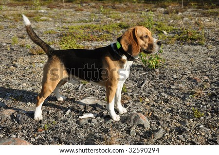 Beautiful Beagle standing up