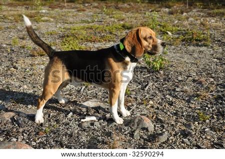 Beautiful Beagle standing up - stock photo