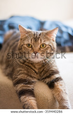 beautiful beige cat posing for the camera in the studio - stock photo