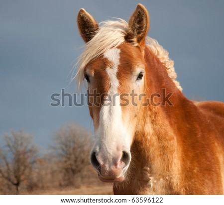 Beautiful Belgian Draft horse in sunlight against dark stormy skies - stock photo