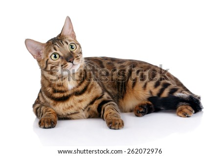 Beautiful Bengal cat lying on white background