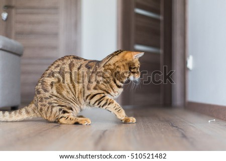 Beautiful Bengal cat playing in the house and hunting for mice. Funny cat.