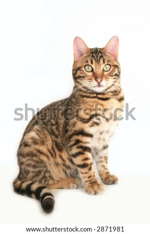 Beautiful Bengal cat sitting looking at you isolated