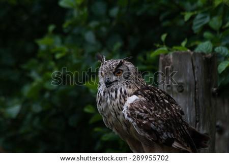Beautiful Bengal Eagle Owl (Budo Bengalensis) - stock photo