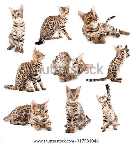 Beautiful Bengal kitten isolated on white - stock photo