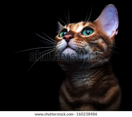 Beautiful bengalensis cat ifs isolated on a black background. - stock photo