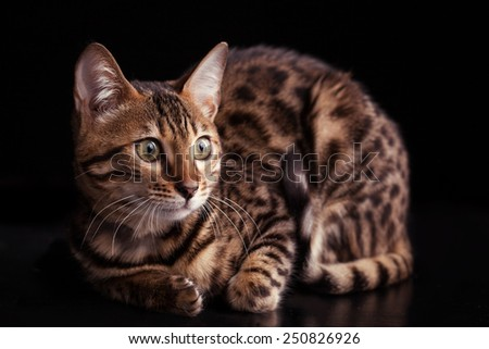 Beautiful bengalensis cat is isolated a black background - stock photo