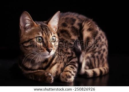 Bengal mix cat personality