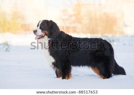 Beautiful bernese mountain dog (Berner Sennenhund) stay on snow in park - stock photo