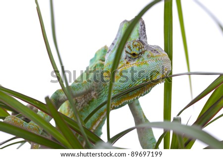 Beautiful big chameleon sitting on a flower - stock photo